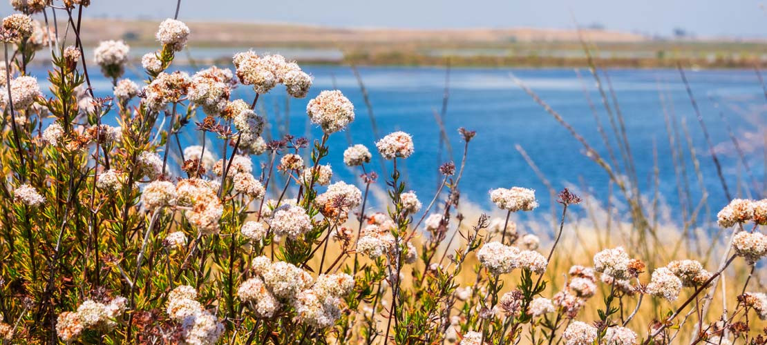 WILD BUCKWHEAT: THE GRAIN OF THE 90'S (1390'S, THAT IS)
